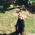 Рыжие панды